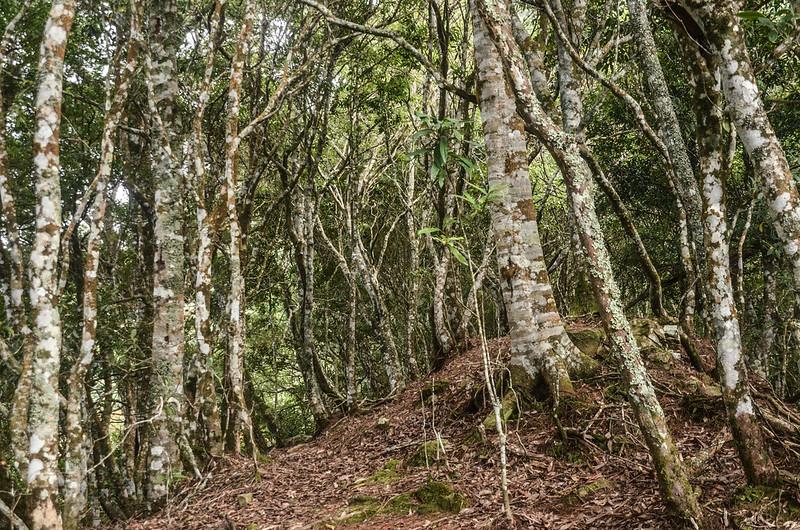 鹿坑山稜線杜鵑林