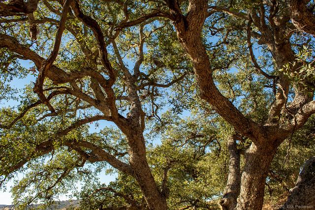 Under an Old Oak Tree