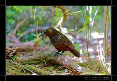 The New Zealand bush parrot / Kākā