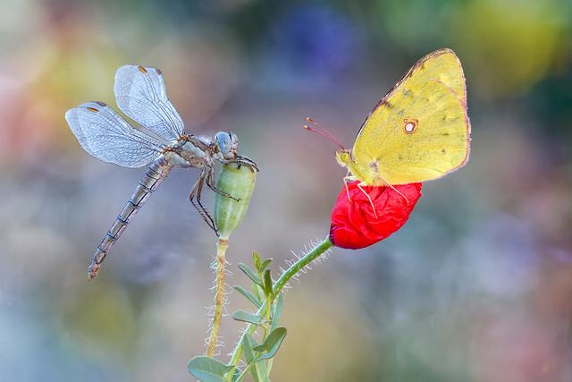 La libélula y la mariposa