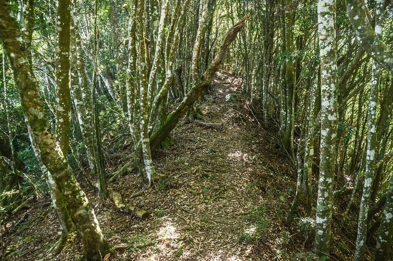 鹿坑山優美林相稜線 (1)