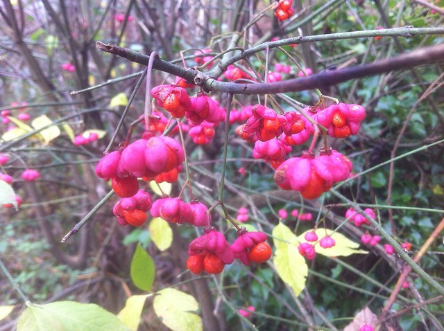 Pink flowers + Red / Orange berries in the hedgerow = Spindle tree
