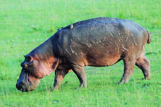 Hippo Out Of Water Grazing  (Hippopotamus amphibius)