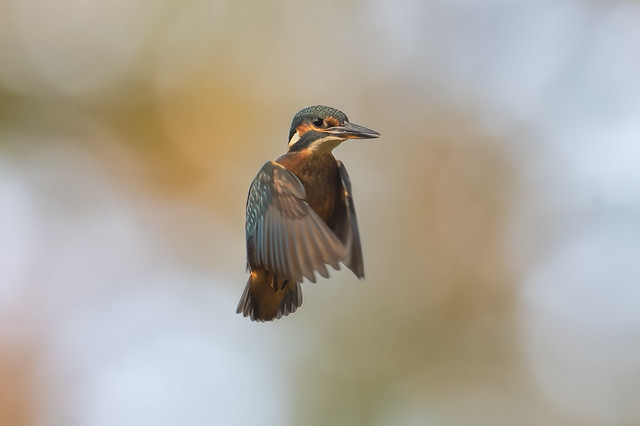 Kingfisher In Flight Sep 2020