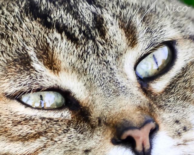 Animal cat tabby  cat eyes Catou DSC_1824 Yeux d'un chat tigré.