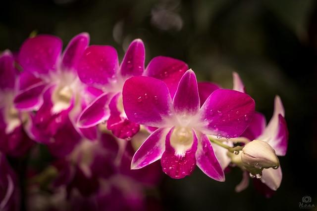 Orchid flower - Singapore