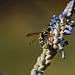 Potter Wasp on Lavender