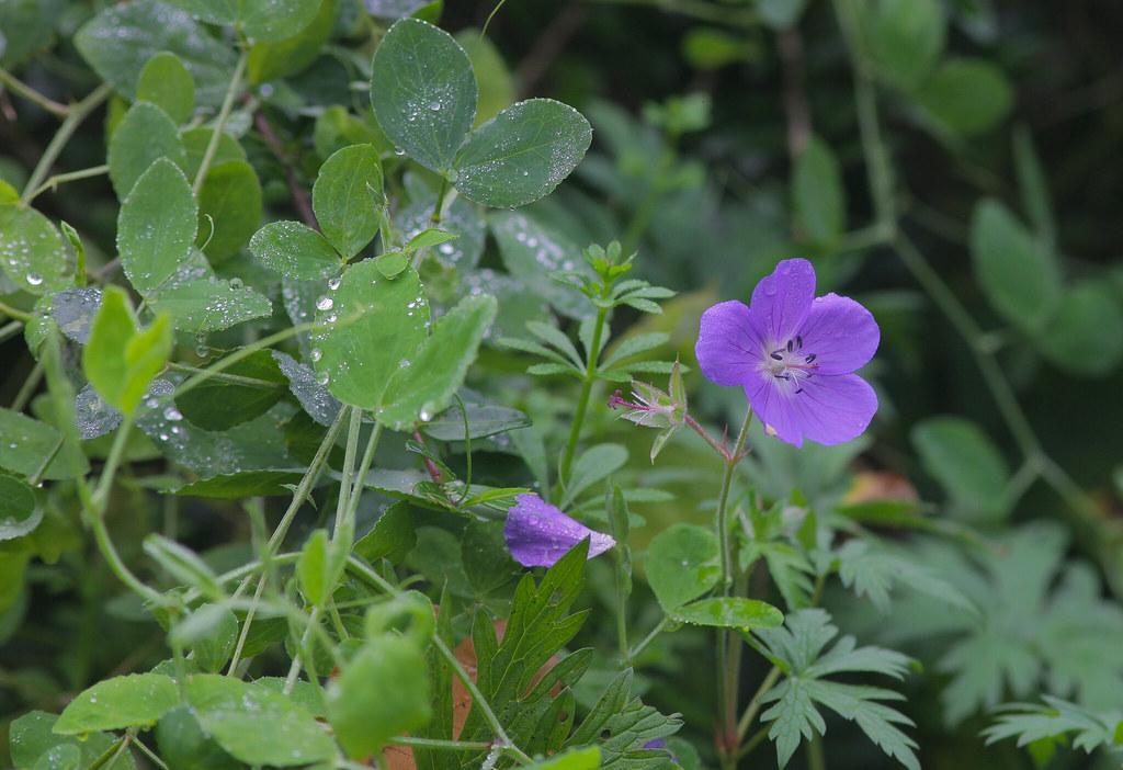 Little Purple Flora