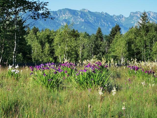 Natur Sommer Alpen Benediktenwand Feld Wiese Bayern Oberbayern Blume Wildblume Iris Schwertlilie © Lythrum Summer Alps Mountain Plant Meadow Bavaria Germany Wild Flower ©