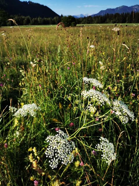 Natur Sommer Feld Wiese Bayern Oberbayern Blume Wildblume Bärenklau Acanthus © Summer Plant Meadow Bavaria Germany Wild Flower Cow Parsnip Hogweed ©