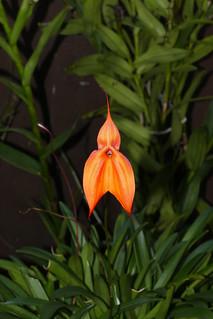 Masdevallia veitchiana 'Sol' species orchid 10-20