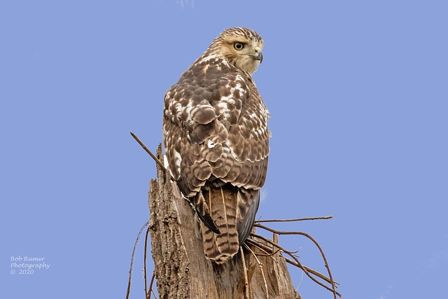 Red-tailed Hawk juvenile.