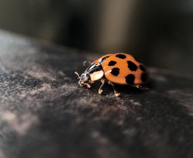 Ladybird (iPhone Macro Series)