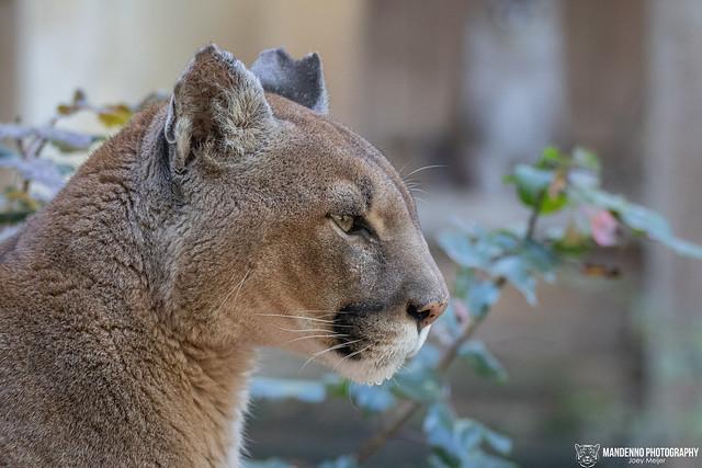 Cougar/Puma - Zoo Amneville - France