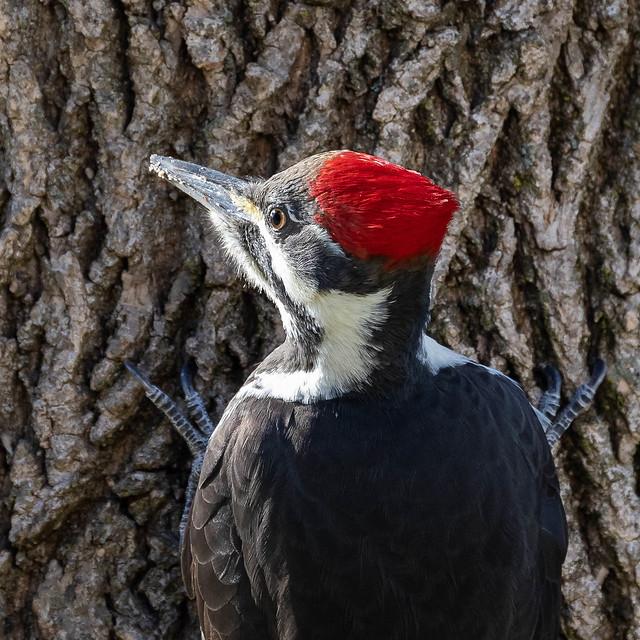 Pileated Woodpecker  sunlit face
