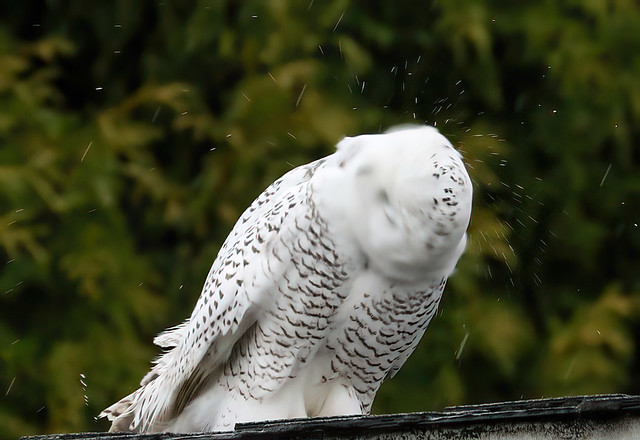 Snowy Owl shaking its head, Queen Anne Hill, Seattle, 17 Nov 2020