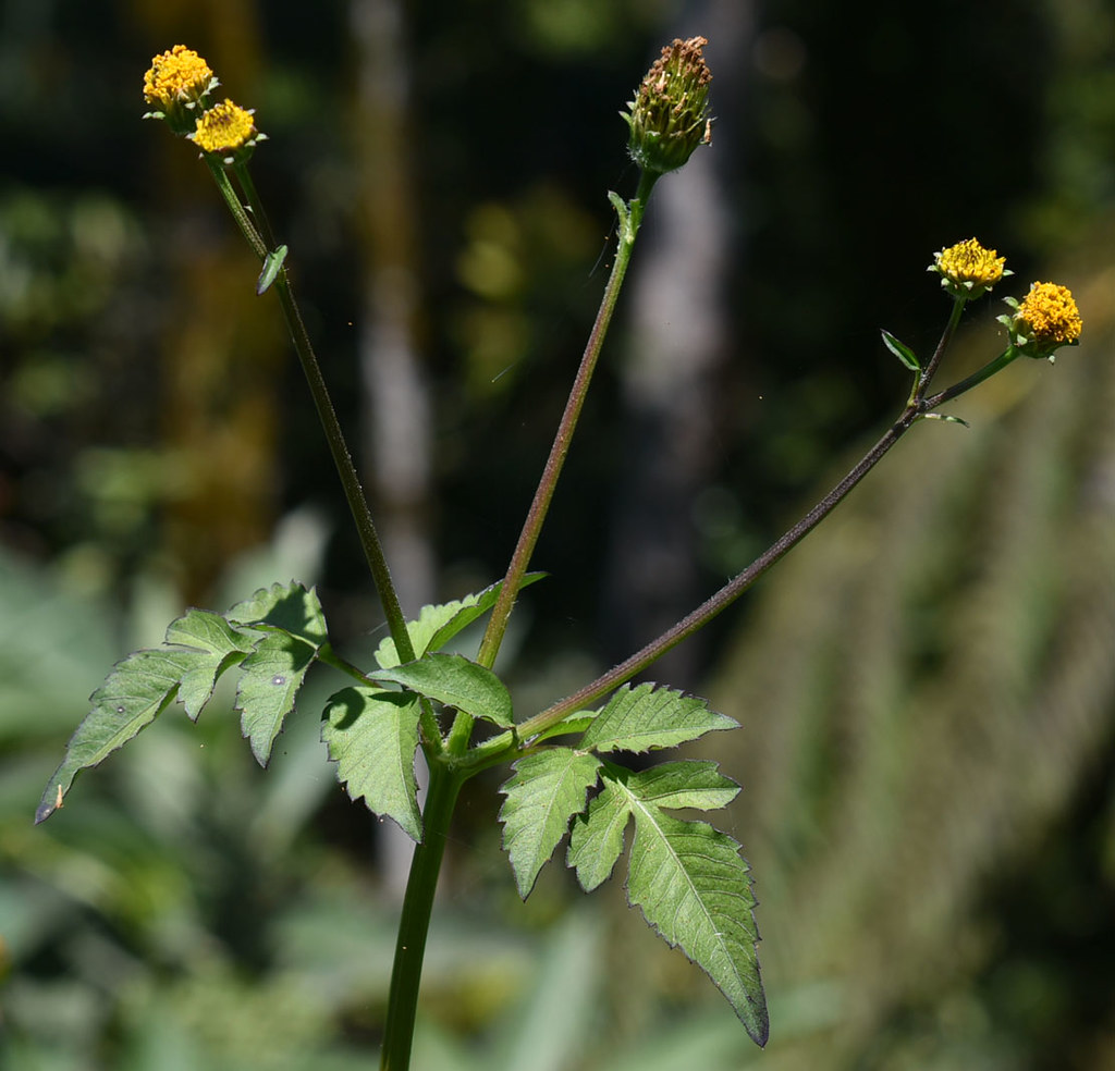 Bidens pilosa, Eungella, west of Mackay, QLD, 30/09/20