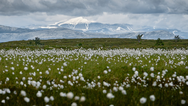 The short cottongrass season