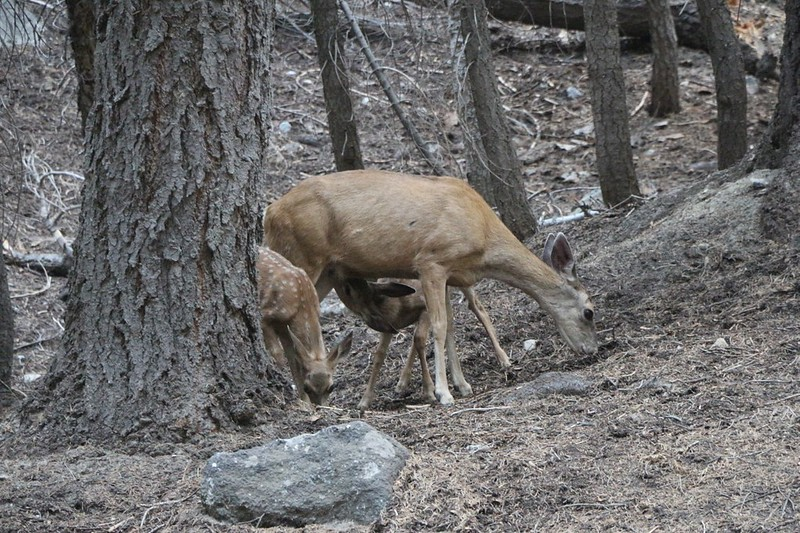 A Doe and her two fawns came by the Nine Mile Creek Campsite and hung around, looking for a handout
