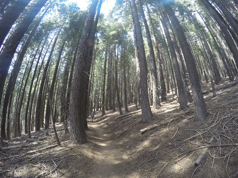 The High Sierra Trail entered another section of tall pine forest - it was quiet and shady and peaceful in there