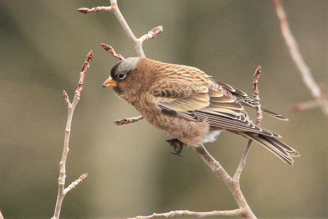 Gray-crowned Rosy-Finch at Sandia Crest (New Mexico)