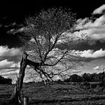 LAME TREE