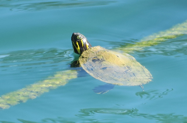 Very young turtle hanging on to a roap in a pond