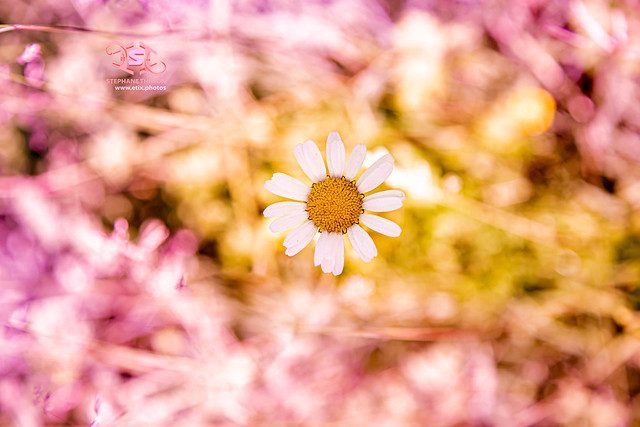 Daisy and gradient / Marguerite et dégradé par Stéphane Thirion