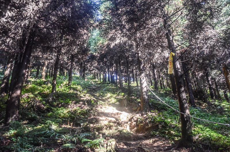 三角湖山杉木林步道 (3)