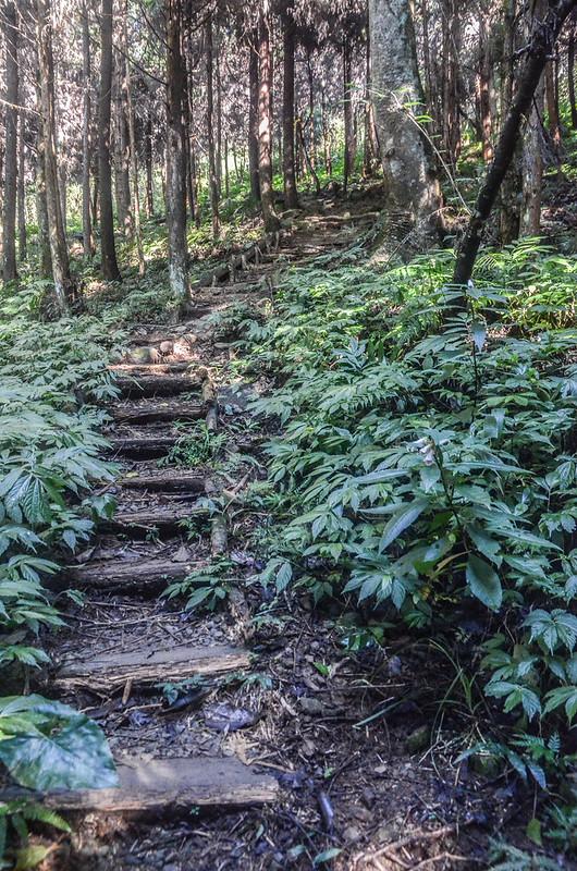 三角湖山杉木林步道 (2)