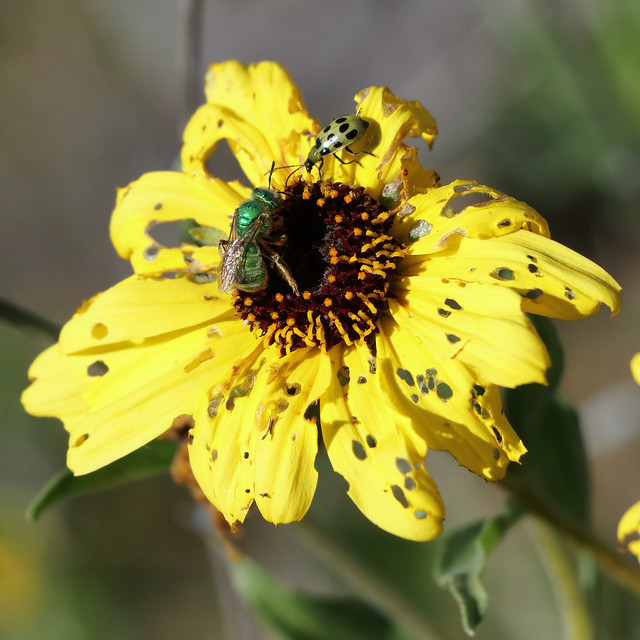 Green sweat bee 3420