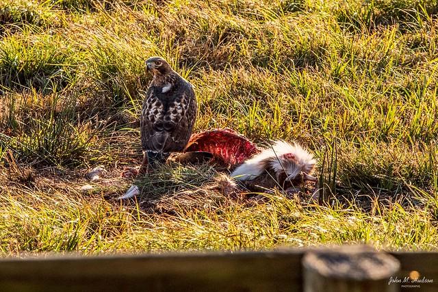 2020.11.17.5217.D850 Red-Tailed Hawk Feeding