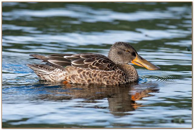 Northern Shoveler Duck Female.