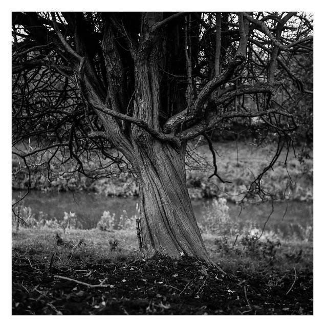 Riverside hawthorn
