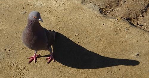 california sandiegocounty sandiego sunsetcliffs pigeon bird shadow aves columbidae columbalivia