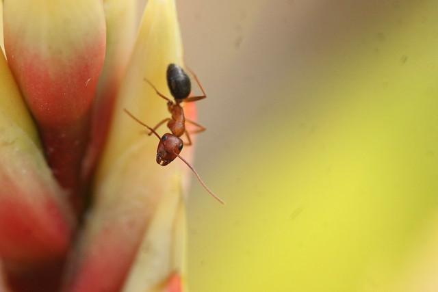 Ant in the Formica genus