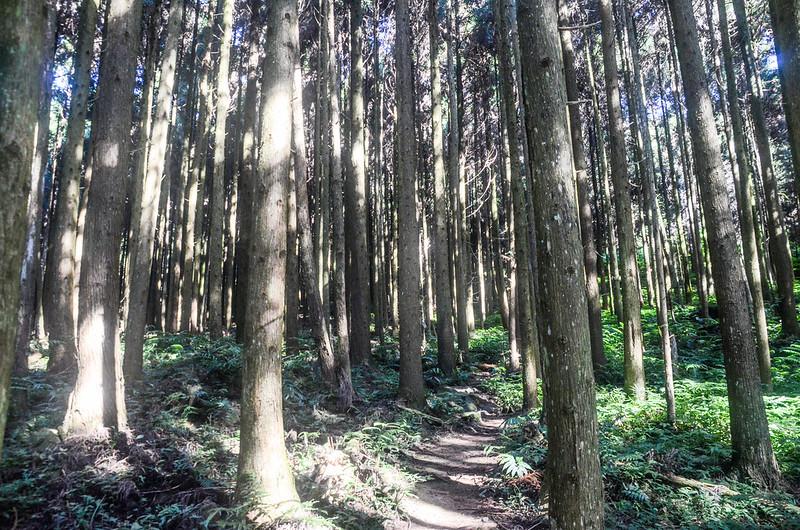 三角湖山杉木林步道 (1)