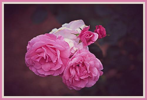 rose floribunda floribundarose park wahroonga wahroongapark wahroongaparkrosegardens queenelizabeth queenelizabethfloribundaroses