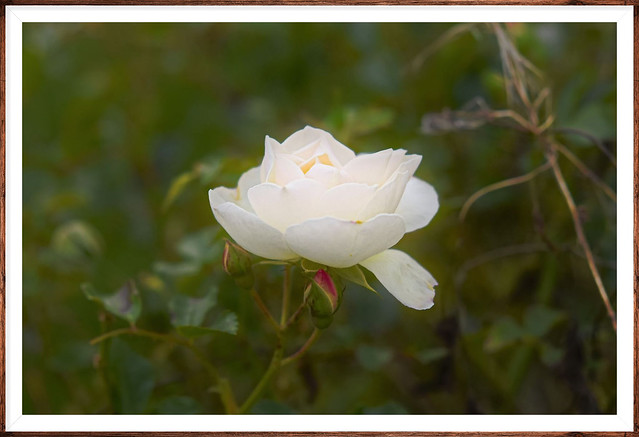 White rose where purity incarnate