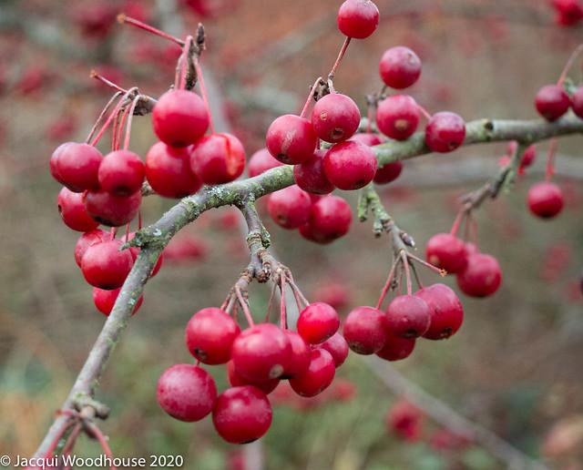 Autumn Berries at West Dean Gardens