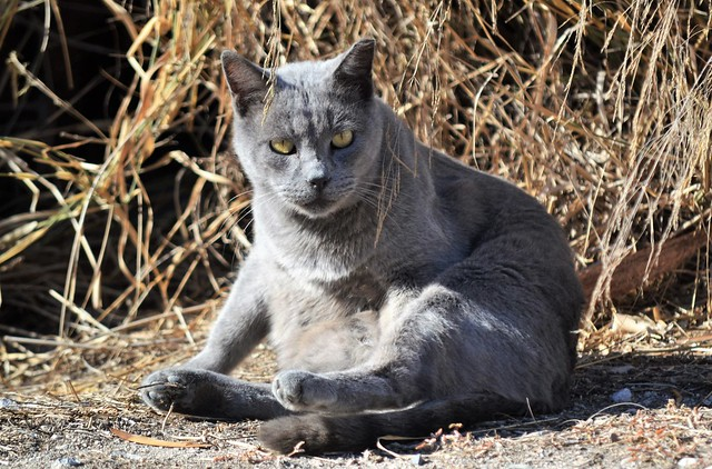 Lovely Chartreux Cat
