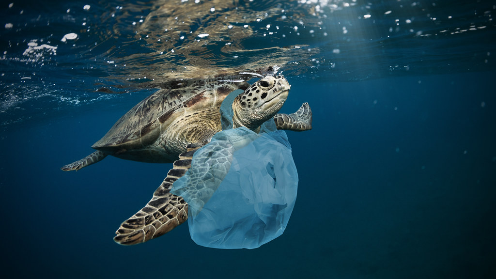 Sea turtle with a plastic bag wrapped around its neck