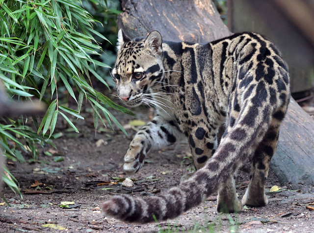 clouded leopard Ouwehand 9K2A8466