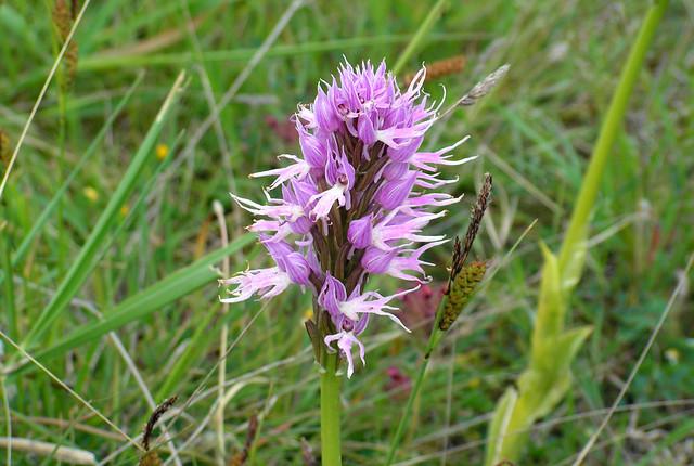 Orchid, Spili, Crete