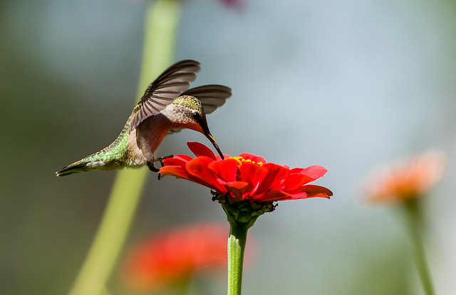 0P7A5130   Ruby-throated Hummingbird, Canada