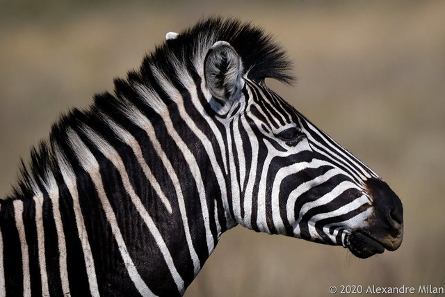 Young zebra - Jeune zèbre