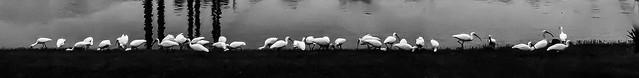 Ibis, ibis...