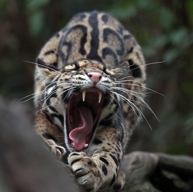 clouded leopard Ouwehand 9K2A8401