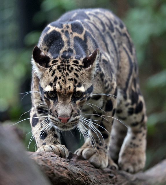clouded leopard Ouwehand 9K2A8431
