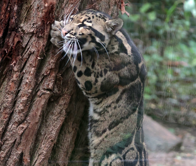 clouded leopard Ouwehand 9K2A8694